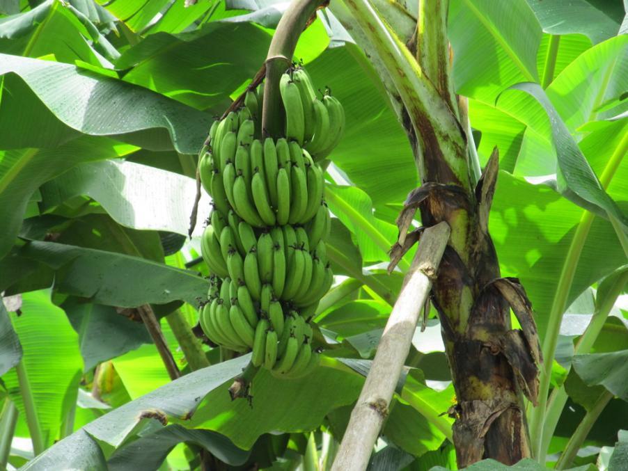Name:  bananas1.jpg Views: 287 Size:  93.3 KB