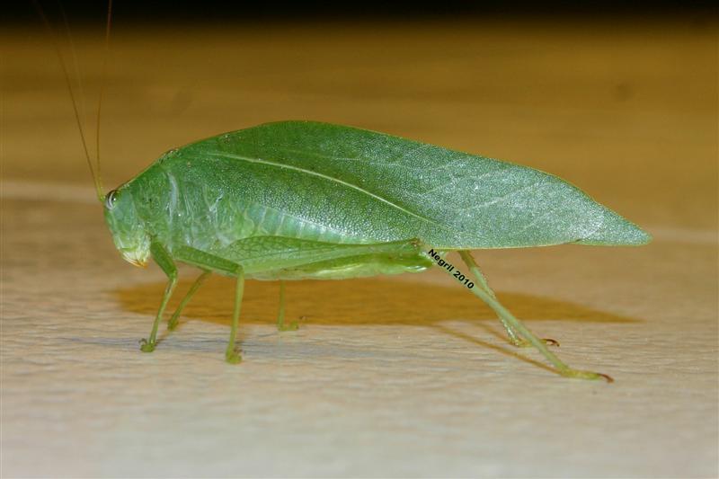 Name:  Grasshopper (Medium).jpg Views: 601 Size:  45.6 KB