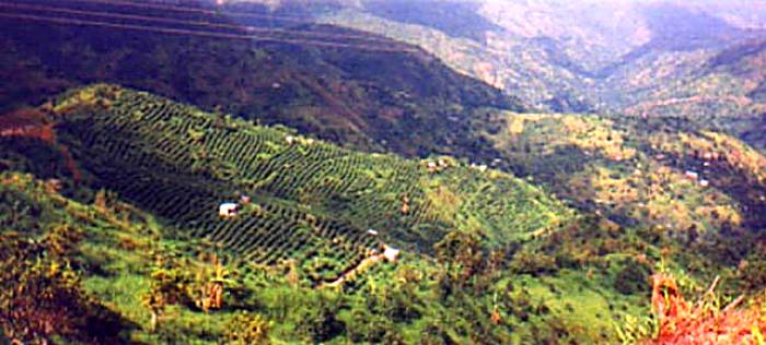 Blue Mountain Coffee Fields in Negril Jamaica